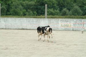 !ª Cagada da vaca do ISCS